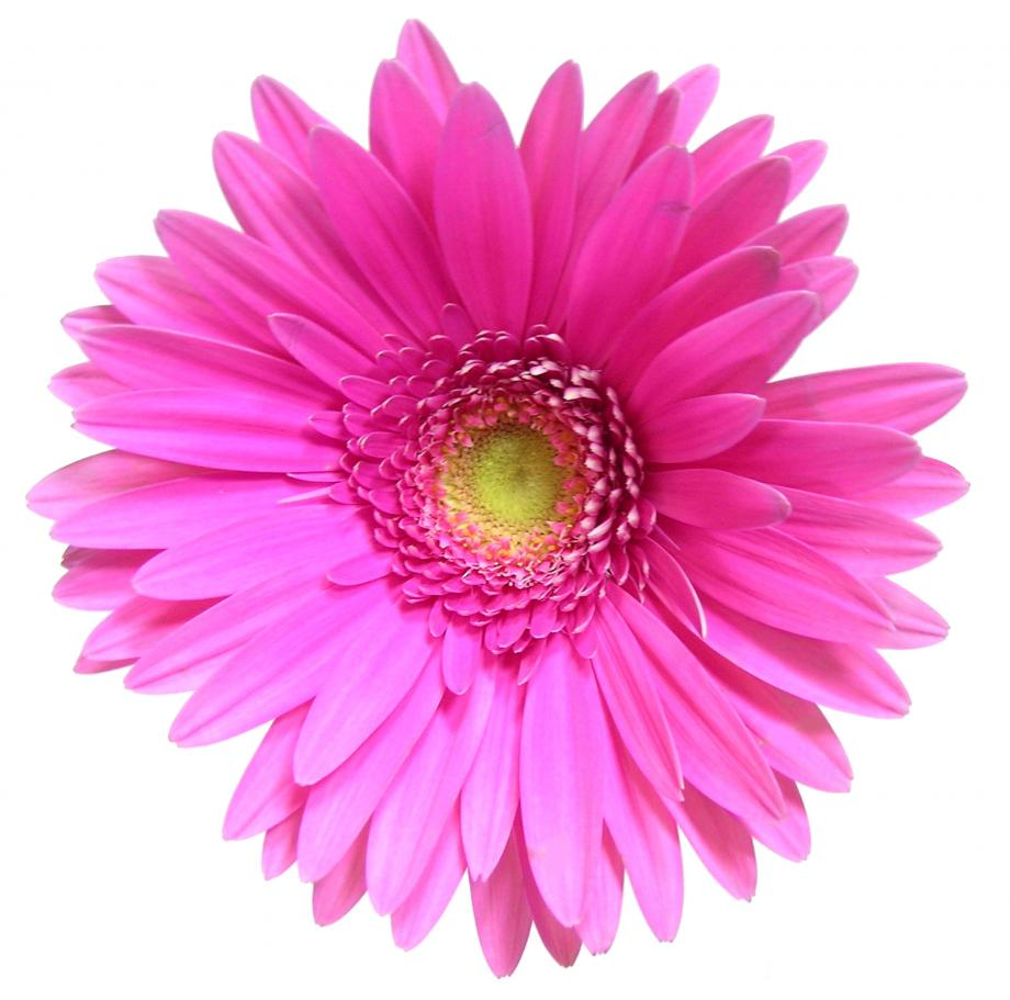 Bethel temple pentecostal church designed for purposestined what is a daisy the main purpose of this flower is to be reproductive we are to reproduce christ in our lives and help other women to do the same dhlflorist Images