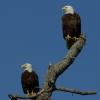 Bald Eagle Pair