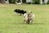4-H Sheep Herding Demonstration
